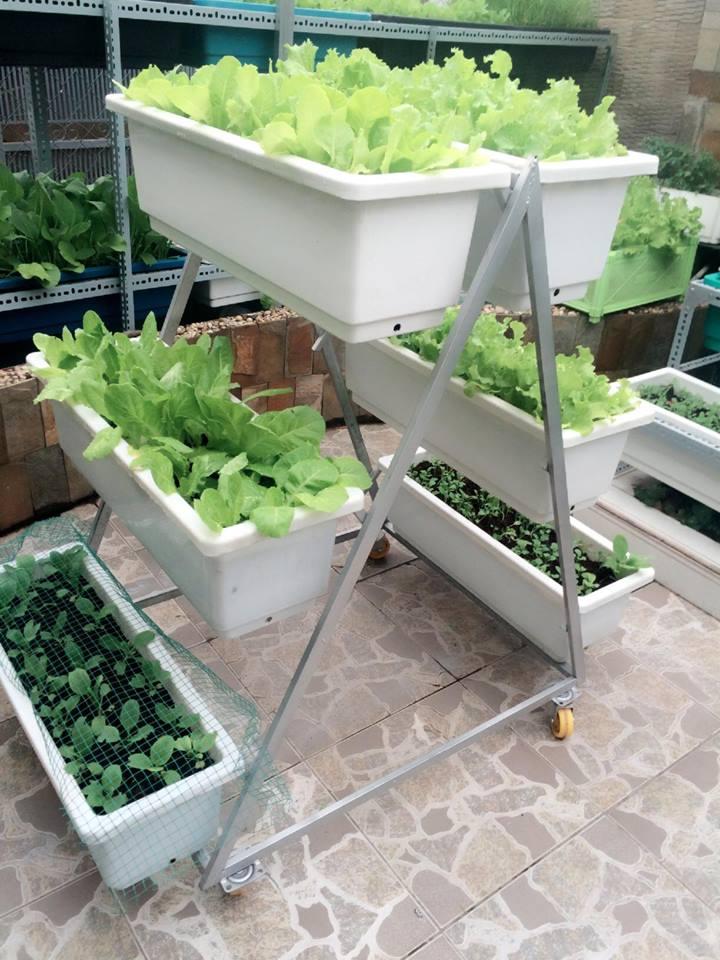trồng rau trên sân thượng cùng quang anh