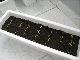 chậu nhựa trồng rau hcm