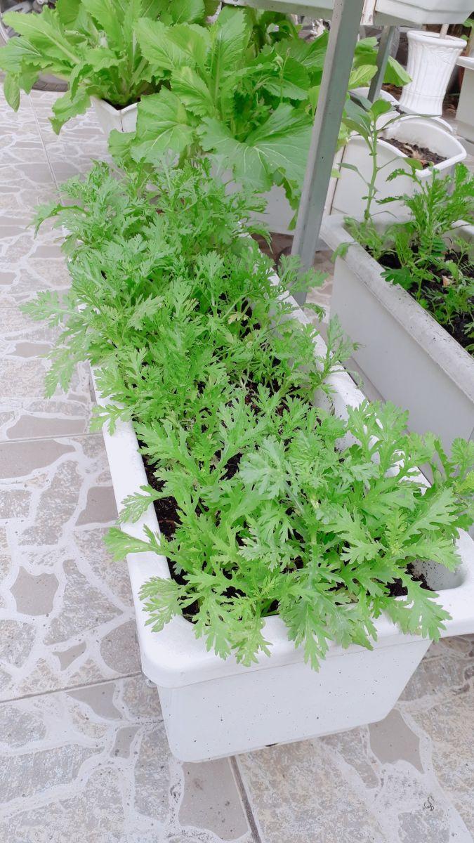 chậu nhựa trồng rau sạch tại nhà
