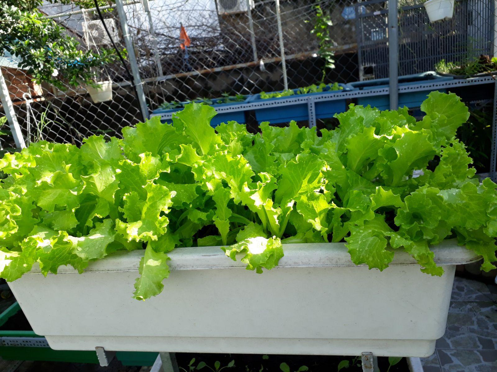 vườn rau sạch cho nhà phố