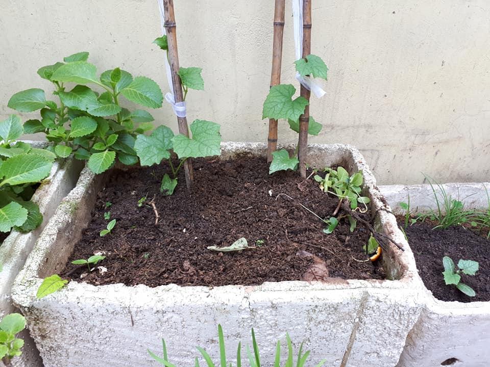 Thùng xốp gây tranh cãi khi có gây độc hại lúc trồng rau.