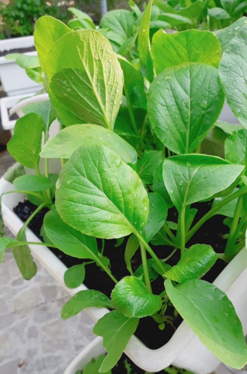thiết bị trồng rau thông minh chậu trồng cây giá rẻ