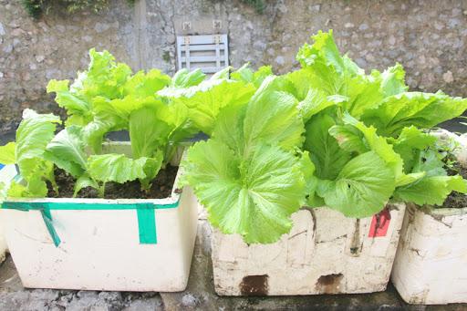 thùng xốp gây nhiều bất tiện trong quá trình trồng và chăm sóc rau.
