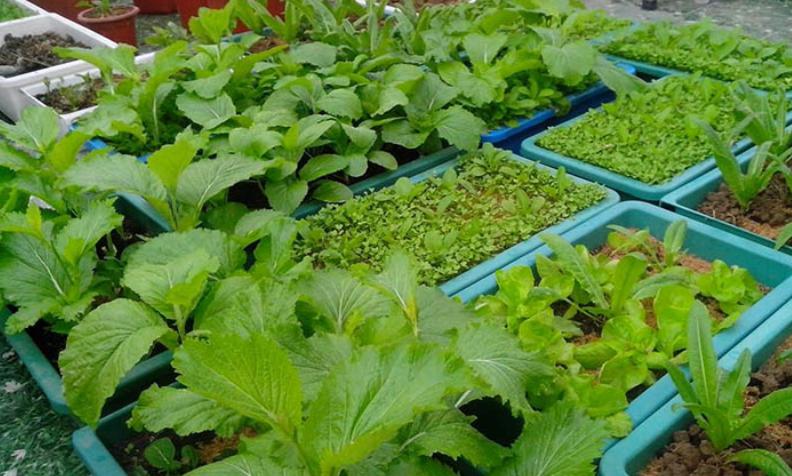 Kinh nghiệm trồng rau với chậu nhựa trồng rau giá rẻ tphcm