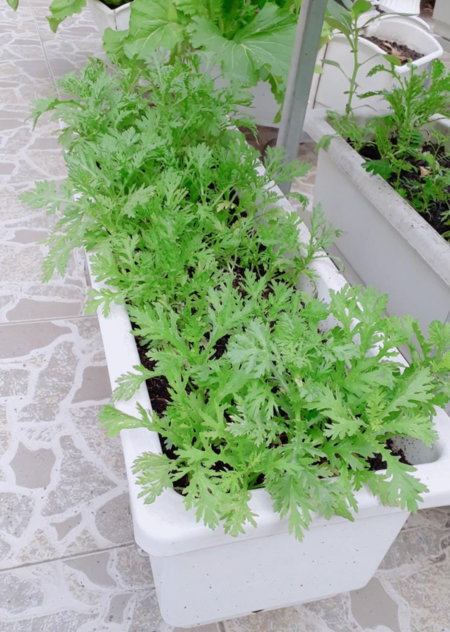 Chậu trồng rau thông minh phù hợp với việc trồng rau tại nhà đạt kết quả cao nhất