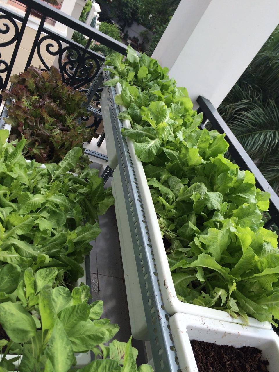 Trồng rau sạch tại nhà với kệ trồng rau tphcm