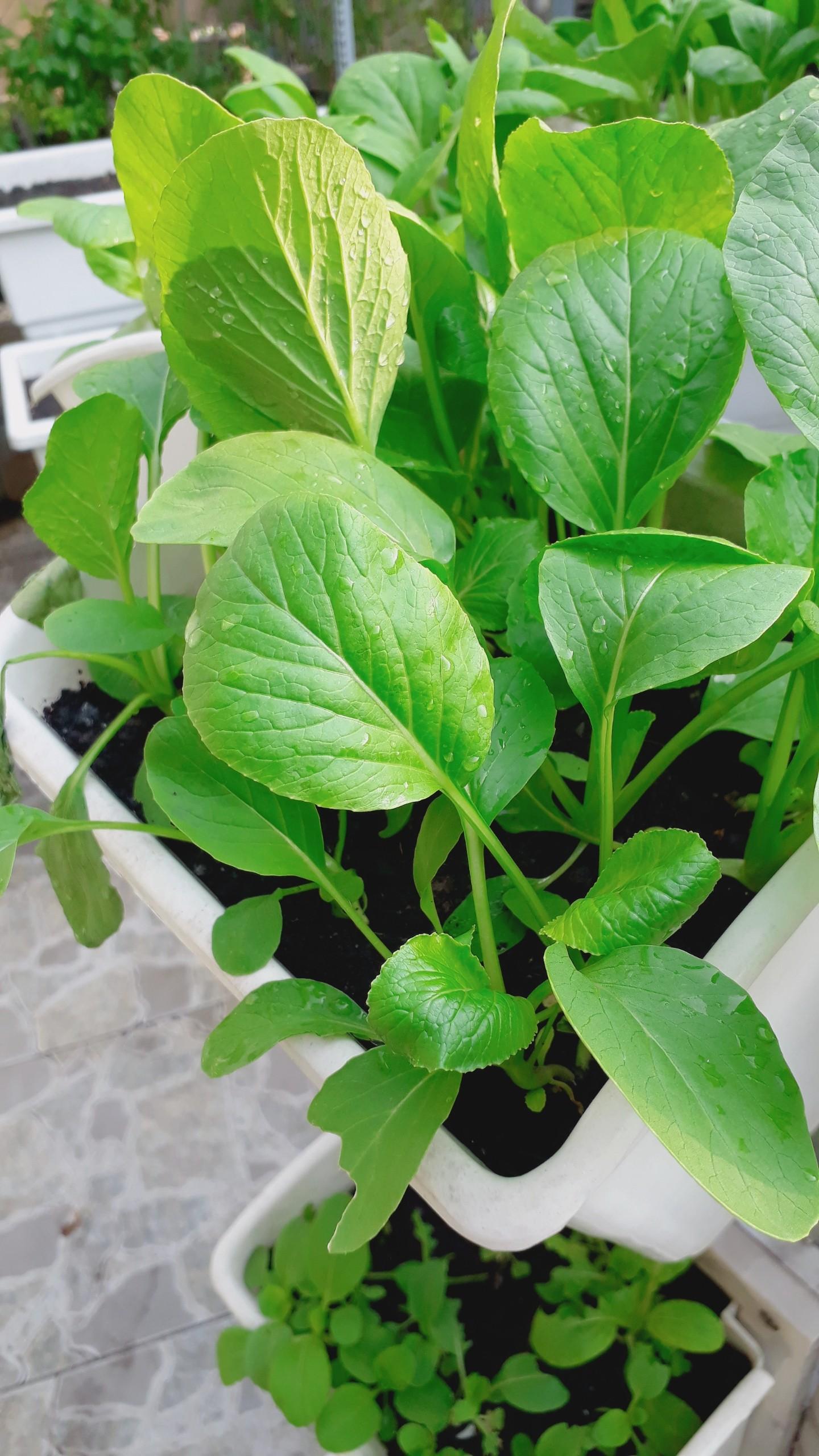Kỹ thuật trồng rau sạch tại nhà hiệu quả nhất hiện nay-Mời các bạn đón xem