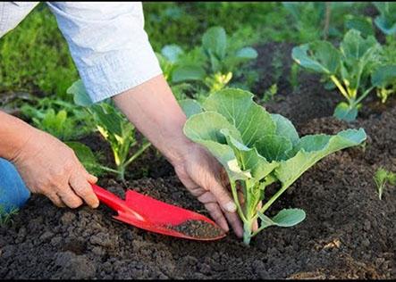Bán phân bón cho rau ăn lá chuyên dùng cho việc trồng rau tại nhà
