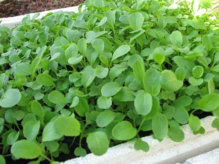Các loại rau trồng ngắn ngày có chất dinh dưỡng cao mà bạn nên trồng