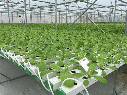 Cách trồng rau sạch không cần đất hiệu quả nhất khi trồng rau tại nhà