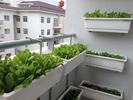Trồng rau sạch trên sân thượng hiệu quả-Kỹ thuật  trồng rau sạch thành công nhất hiện nay