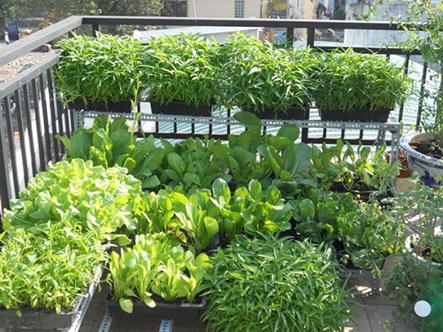 Hướng dẫn cách trồng rau sạch tại nhà hiệu quả nhất-Quang Anh