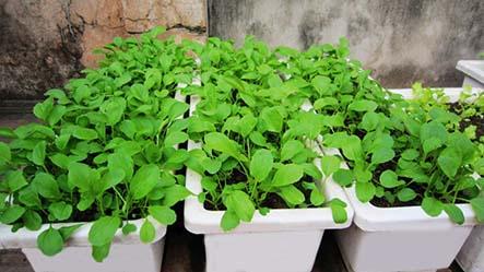Cách trồng rau sạch tại nhà bằng thùng xốp đẹp và hiệu quả nhất