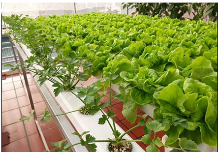 Cách trồng rau sạch tại nhà bằng phương pháp thủy canh hiệu quả nhất